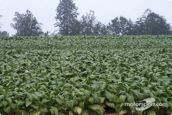 Tobacco fields surround VIR