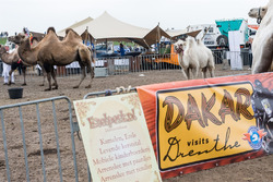 Camels in the Dakar bivouac area