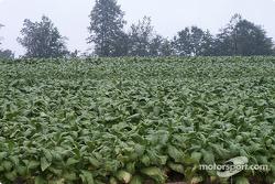 Tobacco fields surround VIR