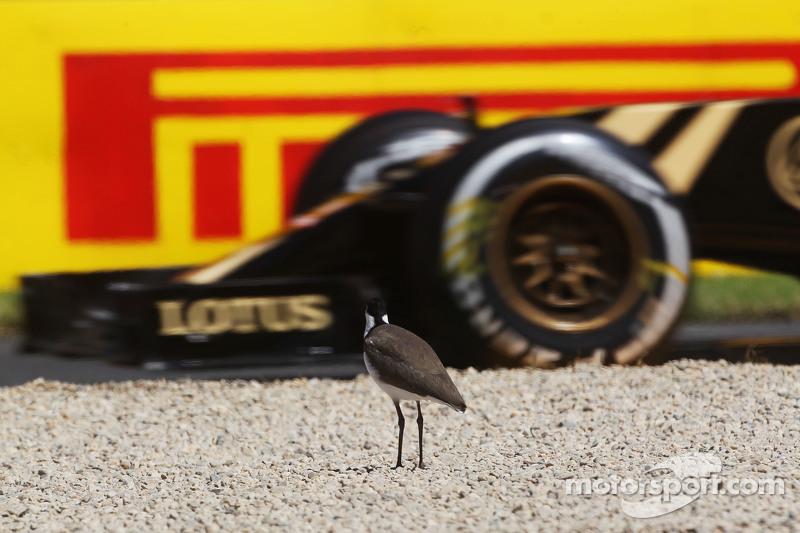 Un uccello osserva il passaggio di Pastor Maldonado, Lotus F1 E23