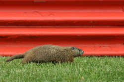 Groundhog on track