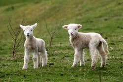 Adorable sheep