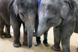 Elephants at the Gandah Elephant Orphanage