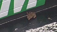 Rabbit stops trucks practice at Bristol Motor Speedway