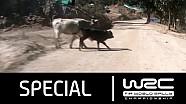 Rally Guanajuato México 2016: Ogier-cow-incident